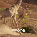 【生物】キリン最強! 百獣の王ライオンを容赦なく踏みつけて疾走(動画あり)